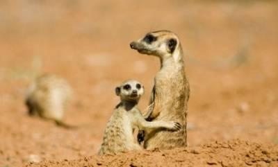 Meerkats, The